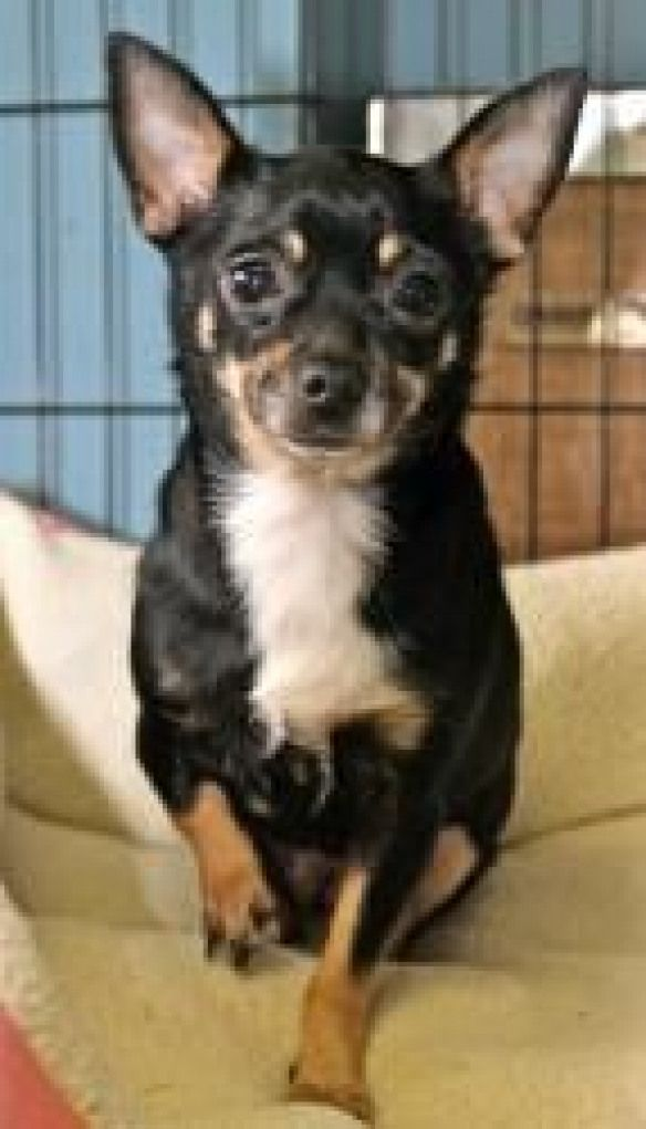 Abby Is An Adoptable Chihuahua Dog In Memphis Tn Little Abby Is