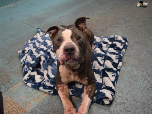OPIE - A1100955 - - Brooklyn  TO BE DESTROYED 01/13/17 A volunteer writes: Sweet-as-candy Opie first introduced himself to me by licking my hand gently when I went to open his cage. Affectionate and wiggly at all times, Opie loves people, treats, and wagging his tail like crazy to show just how happy to see you he is! He walks very easily on the leash without pulling, seems to be housetrained, and has the sweetest little permanent puppy face. At 4 years old, Opie is over hi