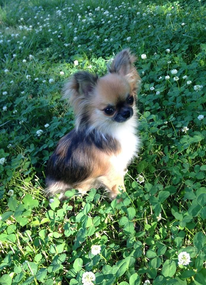 Chihuahua, long-haired. My goodness, it looks like a calico Chihuahua…