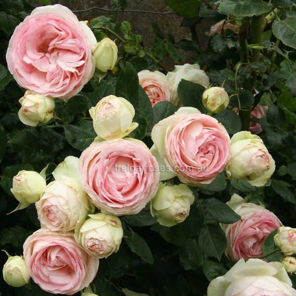 Pierre de ronsard weeper approx tall treloar roses premium roses for australian - Rose cultivars garden ...