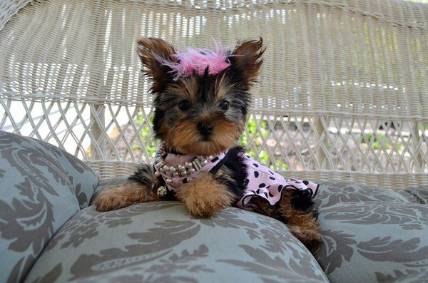 teacup yorkie puppies for sale in ohio 1000 images about tiny yorkie puppies for sale on 4426