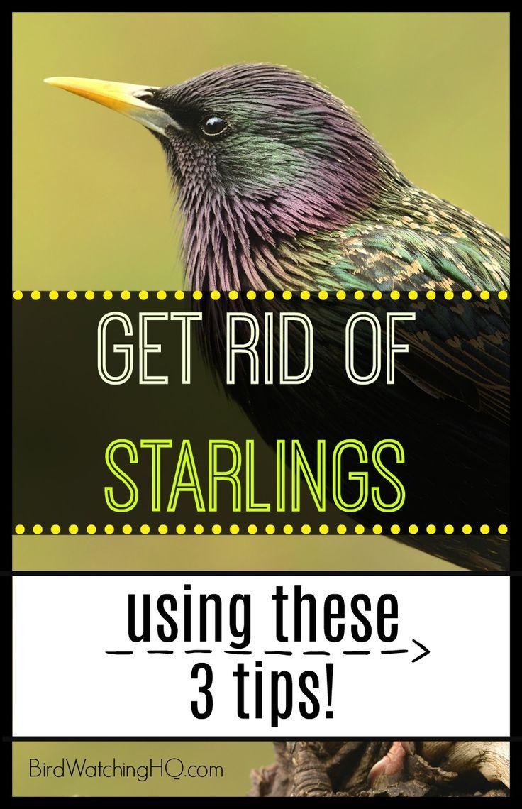 3 Proven Ways To Get Rid Of Starlings Today Bird Watching Hq Backyard Birds Sanctuary Bird Repellents Backyard Birds