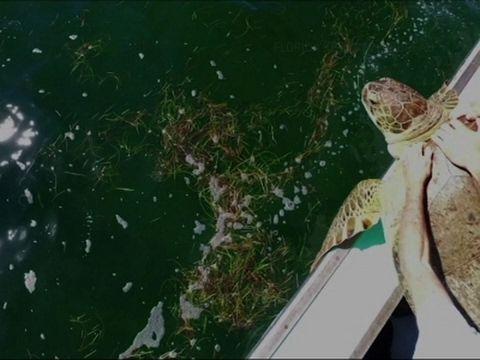Giant Sea Turtle Released Off Florida Keys