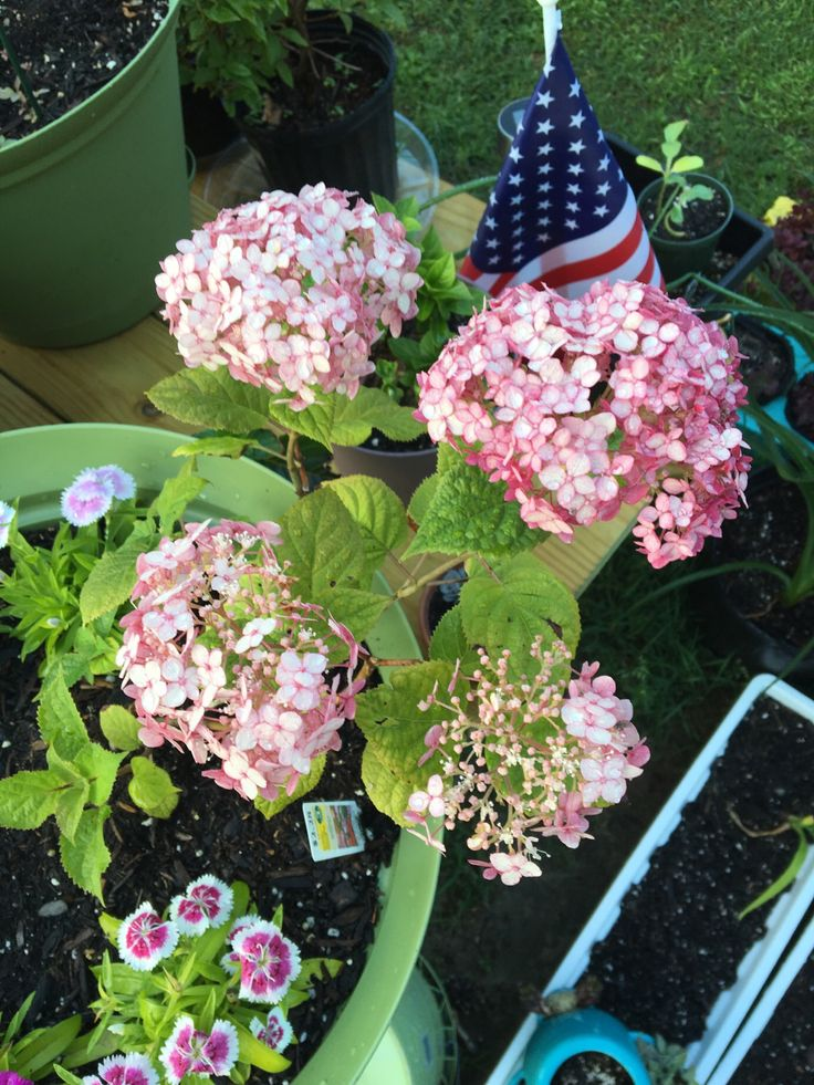 Hydrangea Didn't Flower This Year Best 25+ Incrediball Hydrangea Ideas On Pinterest