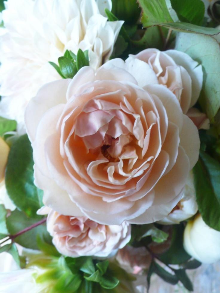 Peach Garden Rose Fleurs Pinterest