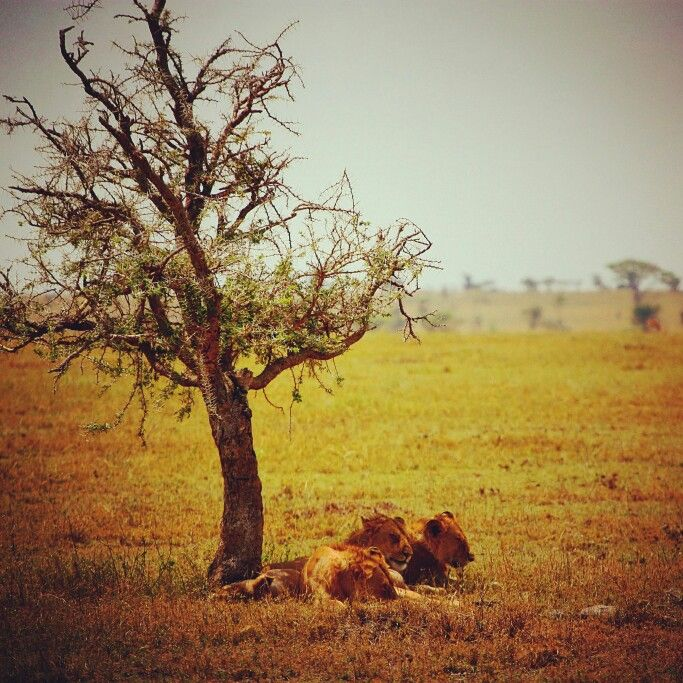Three female lions relaxing in the shadow of a small tree in Serengeti