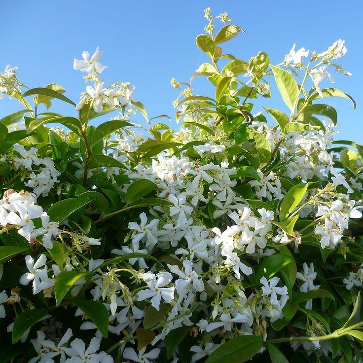 best 25 trachelospermum jasminoides ideas on pinterest climbing flowers chimney pot planter. Black Bedroom Furniture Sets. Home Design Ideas