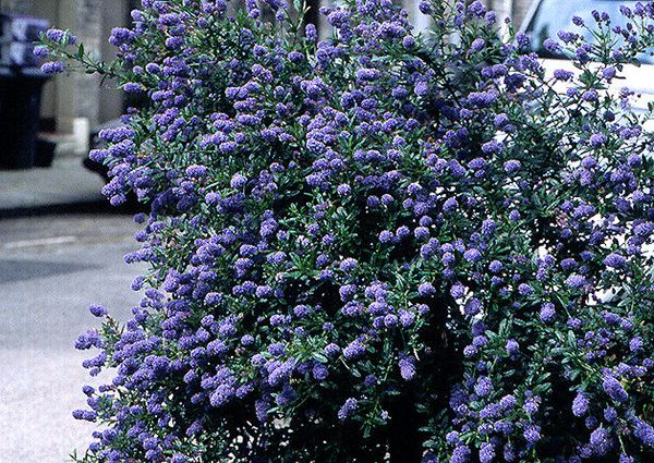 A haze of bright blue flowers in early summer