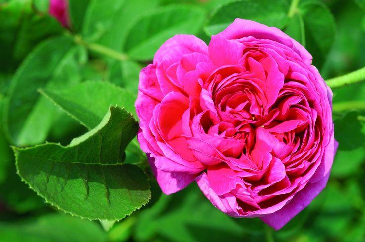 Rose de Resht (im grossen Container): Ein Leckerbissen für Kenner - Strauchrose Rose de Resht