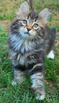 Siberian Forest Cat