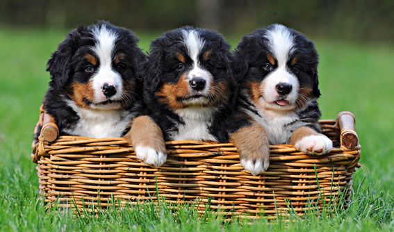 The Bernese Mountain Dog is a recognized Swiss breed of dog that belongs to the breed type of mountain dogs. (Berner Sennenhund)