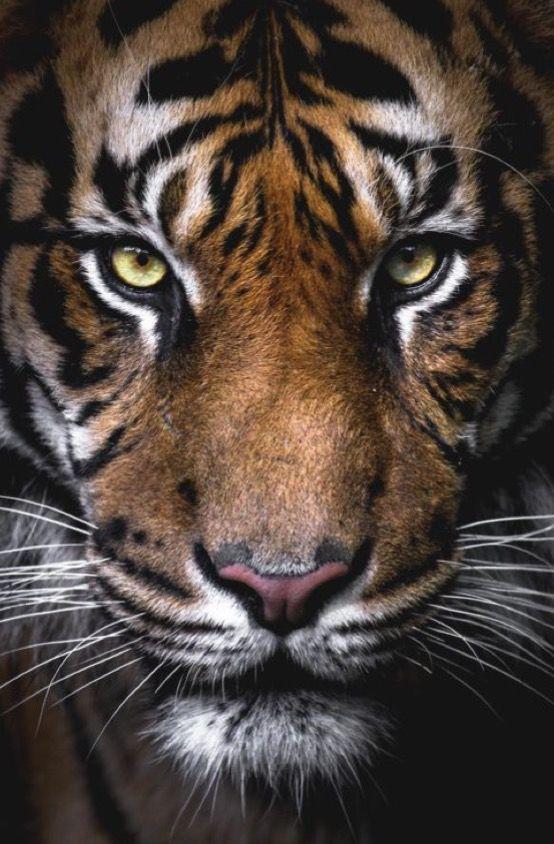 El tigre. Uno de los animales más majestuosos de la tierra.
