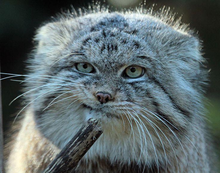 Voici 13 photos du Manul, une race de chats aussi étrange qu drôle ! La 4 est juste énorme !