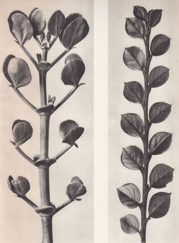 Karl Blossfeldt 1942, looks like what's on our Almedahl (Swedish) curtains..bought 2 years ago