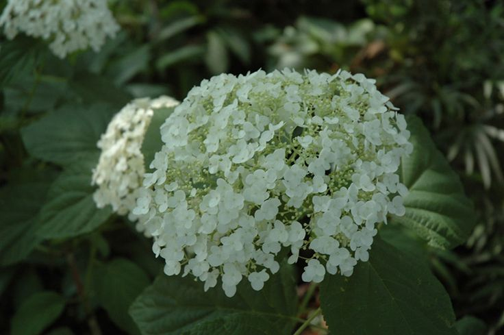 Incrediball hydrangea hydrangea arborescens 39 abetwo 39 at - Stein s garden home green bay wi ...