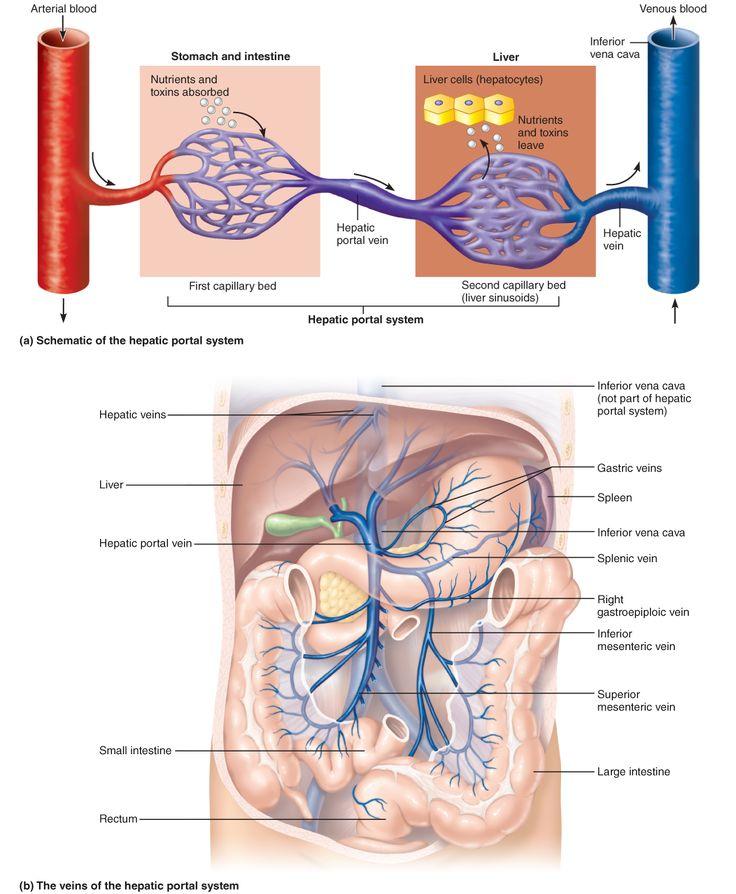 Exelent Portal Vein System Anatomy Adornment - Anatomy And ...