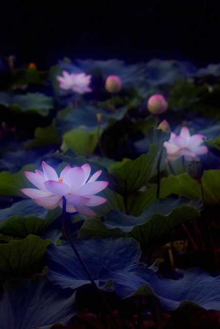 Mystical lotus flower by Mitsu-chan, via Flickr