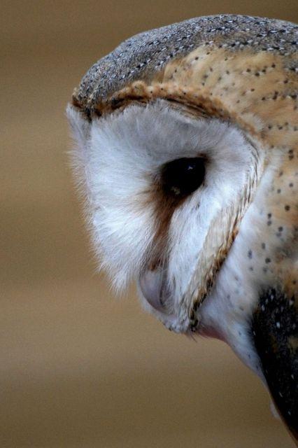Photo : Pas si effraie yante la chouette !,  France, Animaux, Oiseaux, Hulottes. Toutes les photos de Pascal Rouaud sur L'Internaute