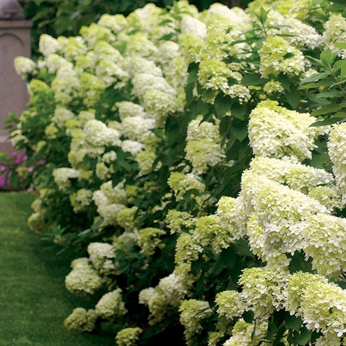 Now these blooms change from green to white to red. Only $15 each. Hydrangea Limelight