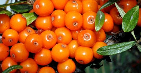 """A homoktövis nagy C-vitamin-tartalma miatt vált az egyik legideálisabb és legkeresettebb """"téli gyógyszerré""""."""