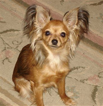 Dog breed: Russian longhair toy terrier