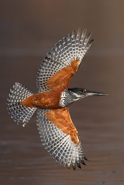 The Giant Kingfisher (Megaceryle maxima) is the largest kingfisher in Africa, where it is a resident breeding bird over most of the continent south of the Sahara Desert other than the arid southwest. (photo by isak pretorious)