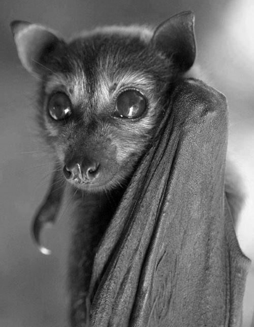 Flying Fox Bat Baby