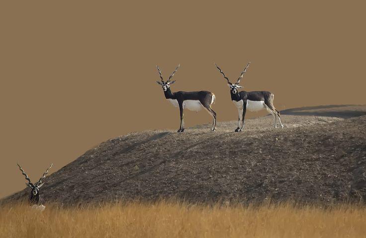 Fotó blackbucks által Surendran Nair on 500px