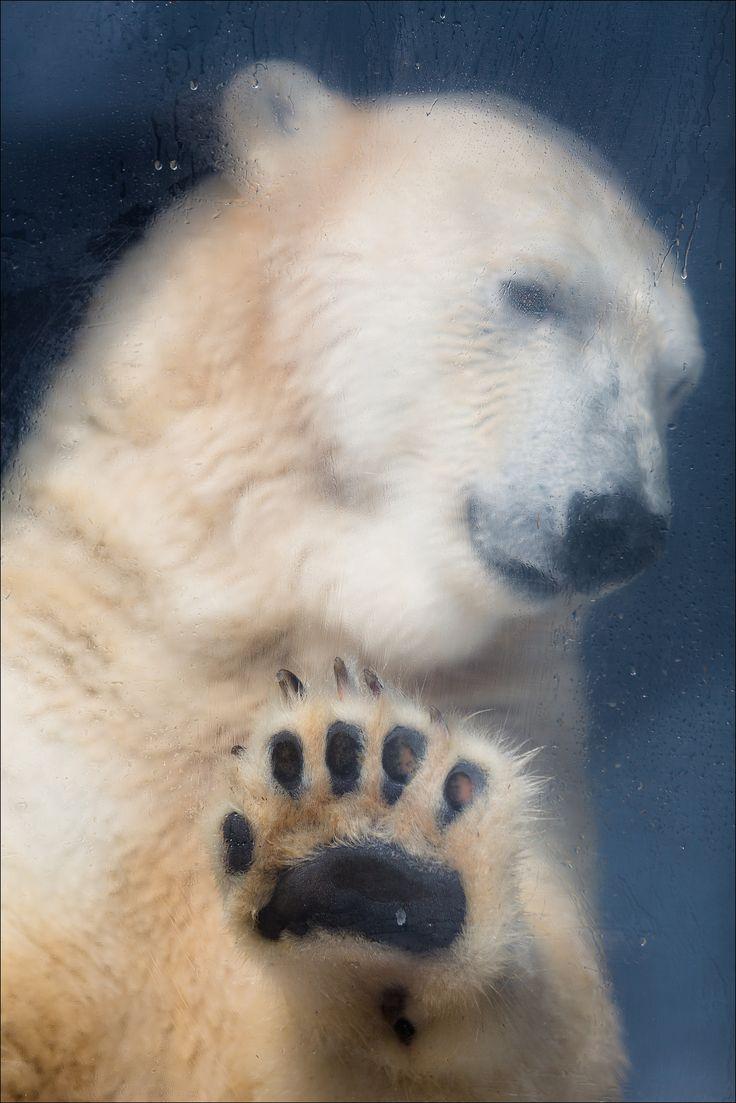 https://flic.kr/p/wRPNUY | Sadness... Variation3 | www.fotografik33.com Un ours polaire triste (Marineland Antibes) A sad Polar Bear (Marineland - FRANCE)
