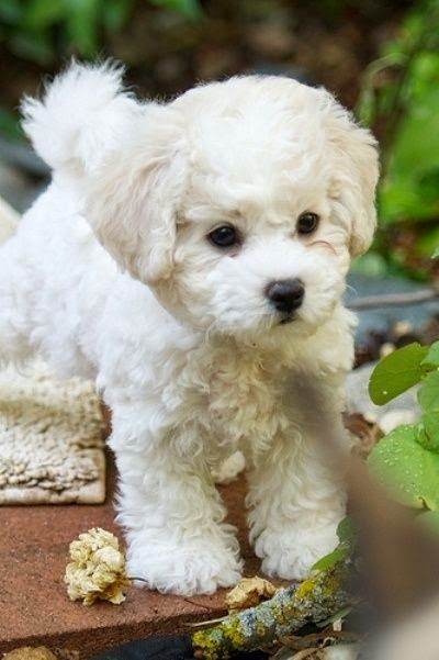 Maltese dogs often have curly or wavy hair. It's especially visible when the fur is cut short. The Maltese look much more like a toy with the curled fur so why not take advantage of it?