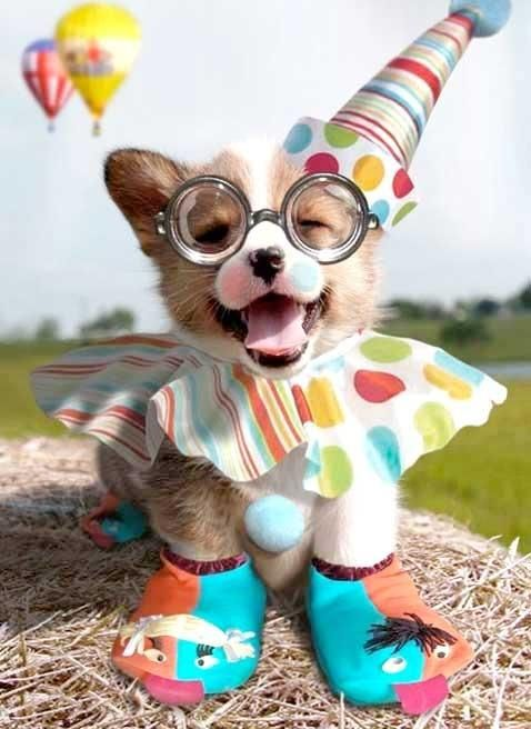 Happy Birthday Corgi Pup in a silly, clown outfit.  Super cute.