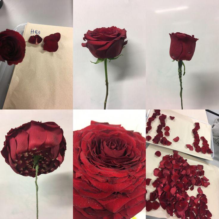 Glamelia av rose