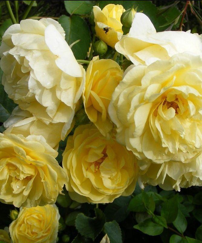 best 25 rosier buisson ideas on fleur d amour fleur and bouquet de garden roses