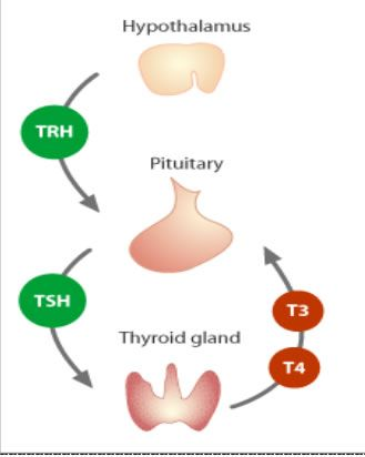 150 best images about thyroid gland on pinterest | underactive, Human Body