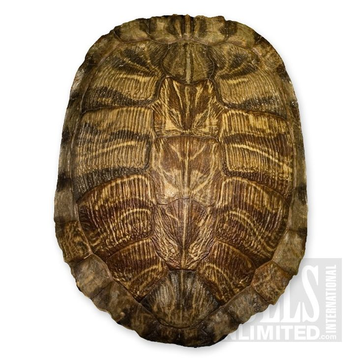 turtle shell -  no, really.