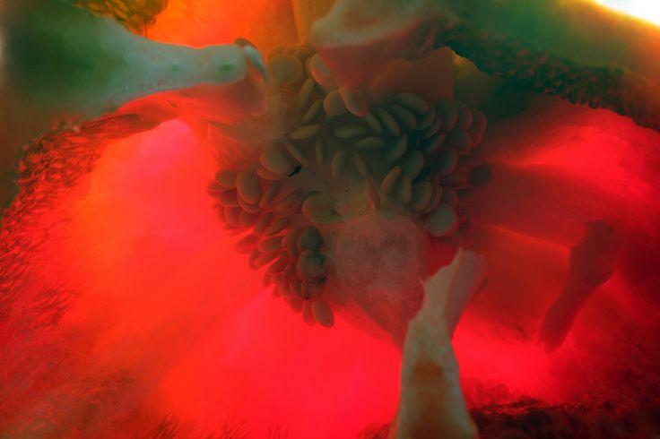 vegetable cosmos_8334  Stampa su forex formato 60x40 cm tiratura copia 1 di 10 € 100 + iva cad © Simone Durante in vendita da PhotoArt12 info: info@photoart12.com