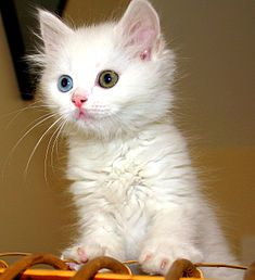 This kitten exhibits the two eye colors common to the Turkish Van.