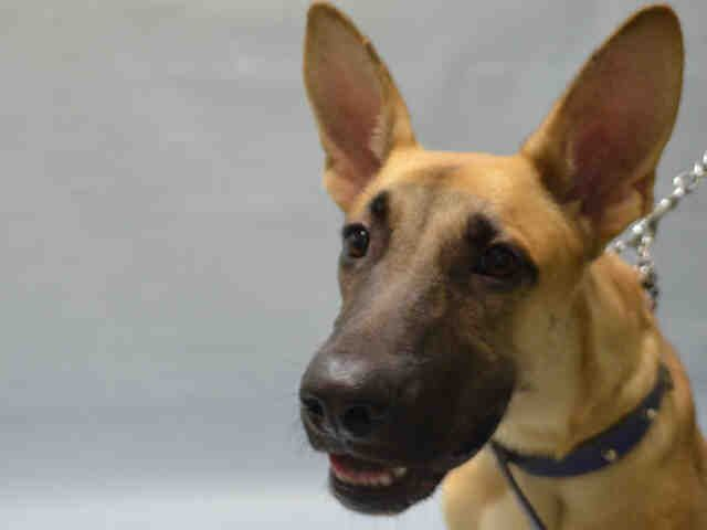 SAFE ziggy_a1091123MALE, TAN, GERM SHEPHERD MIX, 1 yr STRAY – STRAY WAIT, NO HOLD Reason STRAY Intake condition EXAM REQ Intake Date 09/24/2016, From NY 11208, DueOut Date09/27/2016, I came in with Group/Litter #K16-075458  Medical Behavior Evaluation GREEN Medical Summary Scanned negative BARH – tag wags, whines eagerly, solicits attention, allows all handling M~ 1 year Ears, eyes, nose, throat clear Teeth white Coat clean – no flea dirt or parasites noted Ambx4 Nails short NOSF Weight 55.0