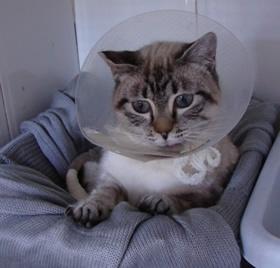 #adoptananimal http://www.svpap.com/urgentes.html  ESPERANZA q-12.- gata cruce siamés. amputada trasera y le falta un trocito de rabo. tiene más o menos 2 años y es muy buena.