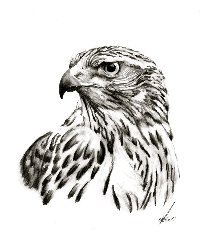 рисунок сокола карандашом