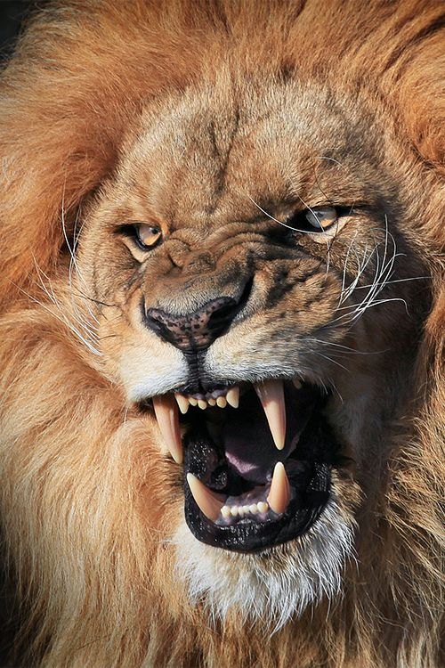 Male lion face roaring - photo#25