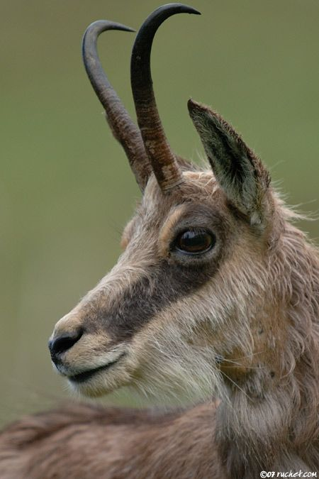 chamois, animal to see in France