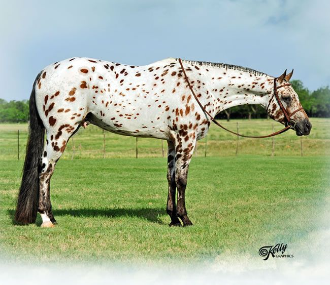 56 Best images about colours - appaloosa patterns on ...