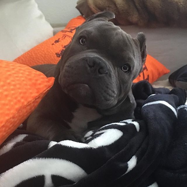 Good Morning America French Bulldog : Best images about pitbulls dogs in the world