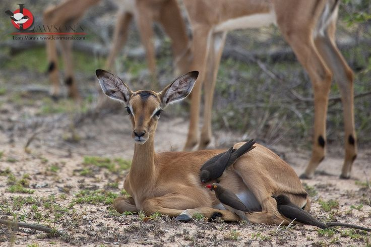 Red-billed Oxpecker family foraging on a baby Impala, #Kruger #safari