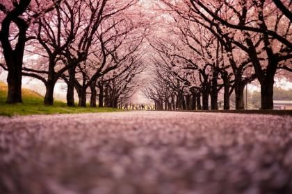 Sakura path - (#163568) - High Quality and Resolution Wallpapers on hqWallbase.com