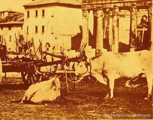 1870 2007 Campo Vaccino Buoi d'avanti al Tempio di Antonino e Faustina a, foto d'anonimo