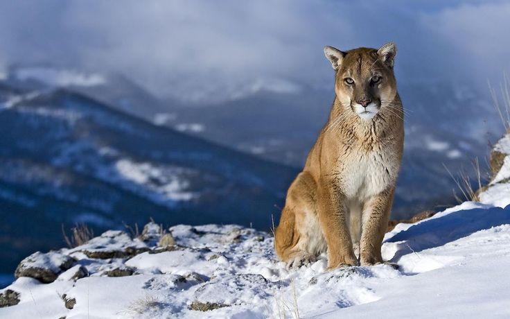puma   Puma salvaje - Wild puma (Grandes Felinos) -