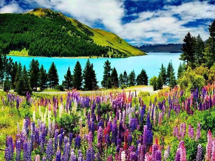 Цветы люпина Рассела, озеро Текапо,остров Южный (Новая Зеландия)