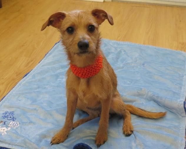 Adopt Ash a Red/Golden/Orange/Chestnut - with White Border Terrier / Fox Terrier | Orange, Red, White Male Border Terrier, Fox Terrier For Sale in High Point NC | 4159352890 | 4159352890 | Dogs on Oodle Marketplace